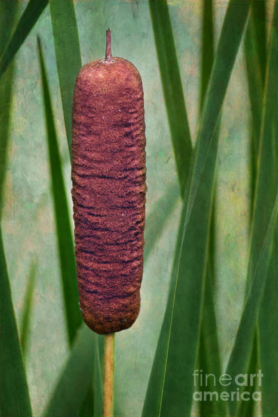 Bulrush Wall Art - Photograph - Cattail With Texture by Nikolyn McDonald