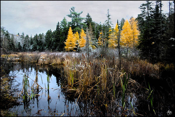 Photograph - A Song Softly Sung Cattails And Larch by Wayne King