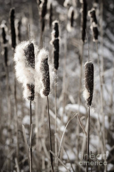 Fuzzy Wall Art - Photograph - Cattails In Winter by Elena Elisseeva
