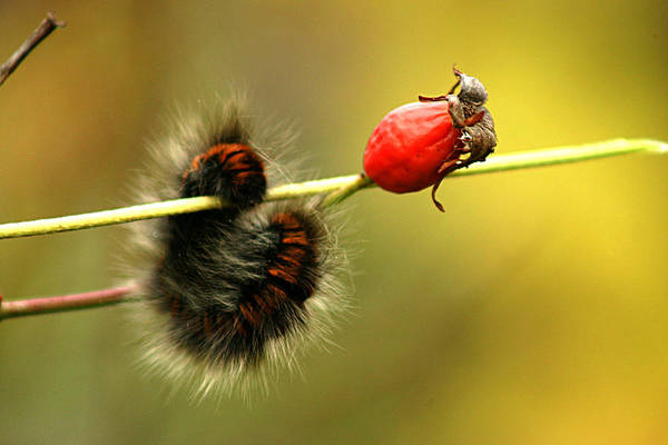 Photograph - Catterpillar With Rosehip by Emanuel Tanjala