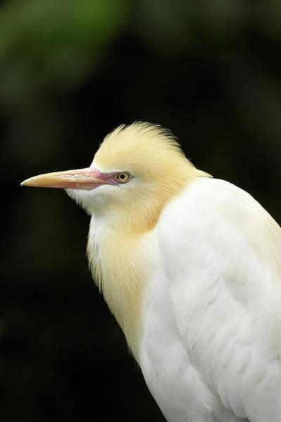 Ardea Photograph - Cattle Egret (ardea Ibis by David Wall