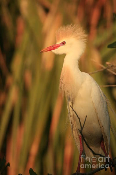 Photograph - Cattle Egret Colors by John F Tsumas
