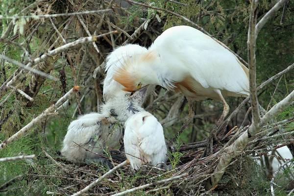 Ibis Wall Art - Photograph - Cattle Egret Feeding Its Hatchlings by Photostock-israel/science Photo Library