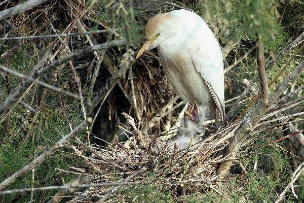 Ibis Wall Art - Photograph - Cattle Egret In A Nest With A Chick by Photostock-israel/science Photo Library