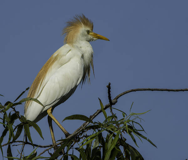 Photograph - Cattle Egret Lookout by Donald Brown
