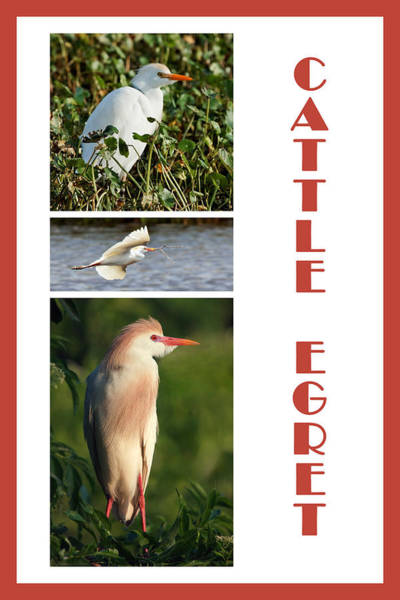 Photograph - Cattle Egret Poster by Dawn Currie