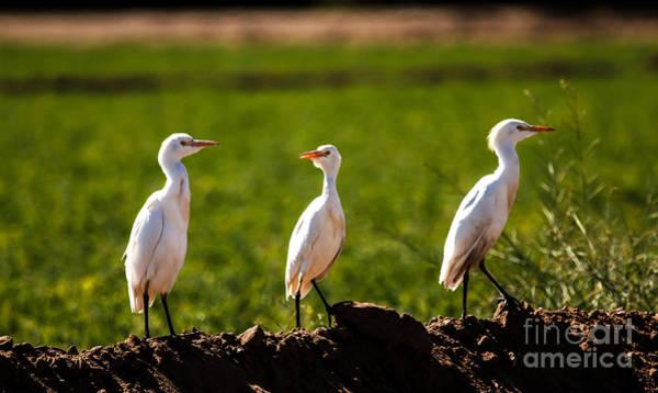 White Ibis Wall Art - Photograph - Cattle Egrets by Robert Bales