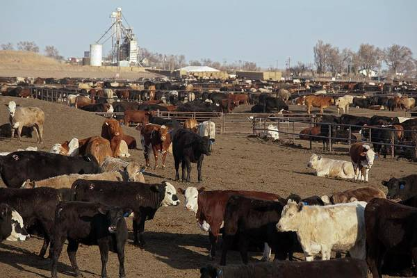 Domesticated Photograph - Cattle Feeding Yard by Jim West