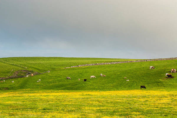 Wall Art - Photograph - Cattle Grazing, Cliffs Of Moher, Ireland by James Steinberg