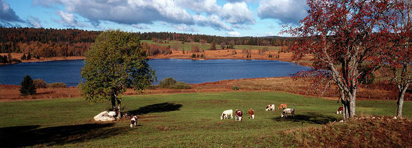 Comte Wall Art - Photograph - Cattle Grazing In A Field, Lac De by Animal Images