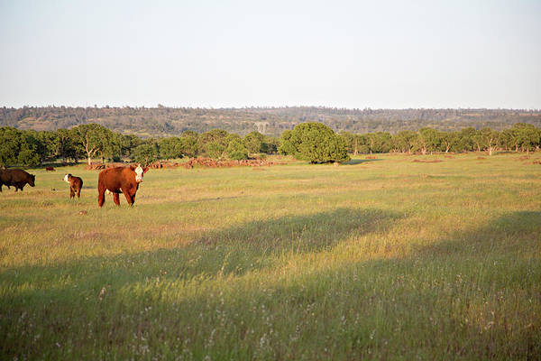 Grazing Photograph - Cattle Grazing In The Field by Debbismirnoff