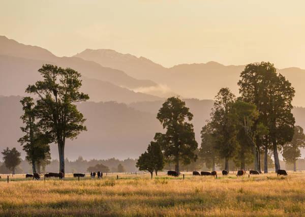 Grazing Photograph - Cattle Grazing Near  Lake Matheson by David Madison