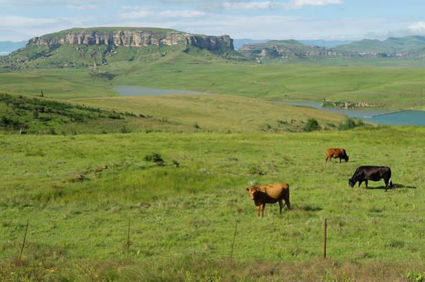 Grazing Photograph - Cattle Grazing Near Sterkfontein Dam by Ariadne Van Zandbergen