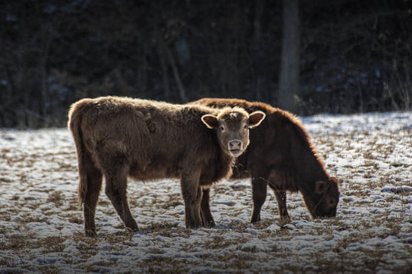 Photograph - Cattle In A Snow Covered Pasture by Randall Nyhof