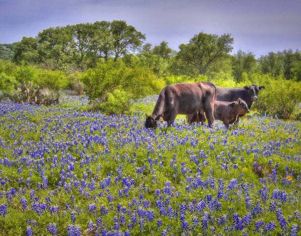 Cow And Calf Wall Art - Photograph - Cattle In The Bluebonnets by David and Carol Kelly