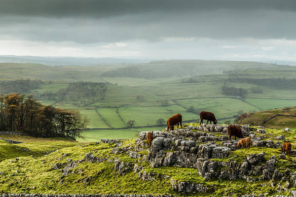 Cattle In The Yorkshire Dales Art Print