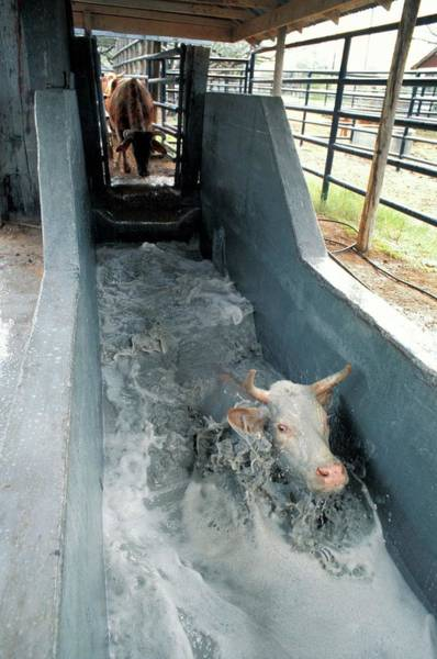 Domesticated Photograph - Cattle In Tick Treatment Bath by Scott Bauer/us Department Of Agriculture