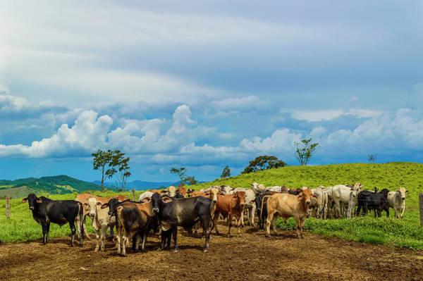 Minas Gerais Wall Art - Photograph - Cattle by Kcris Ramos