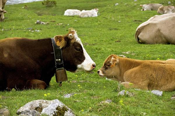 Pyrenees Photograph - Cattle Resting by Bob Gibbons