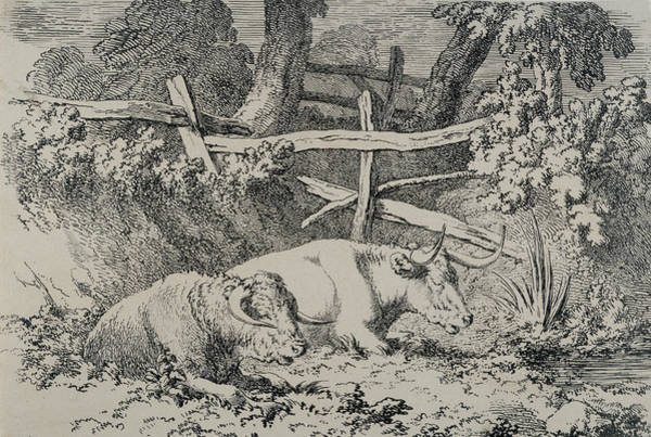 Herd Drawing - Cattle Resting by Robert Hills