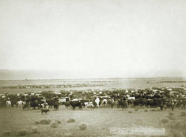 Wall Art - Photograph - Cattle Round-up by Library Of Congress/science Photo Library