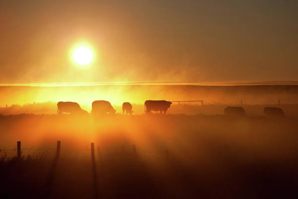 Ranch Photograph - Cattle Silhouette On An Alberta Ranch by Imaginegolf