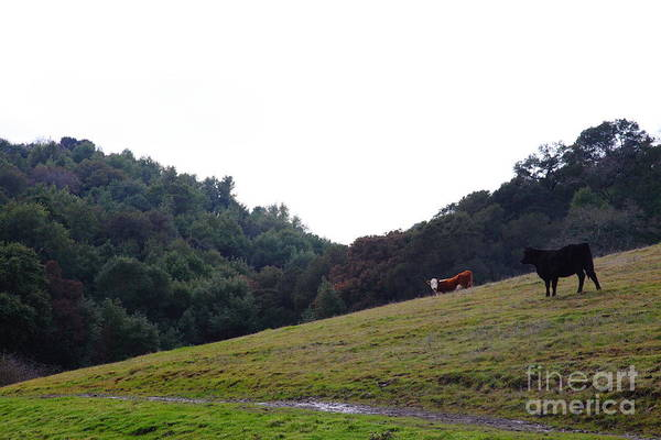 Photograph - Cattles At Fernandez Ranch California - 5d21106 by Wingsdomain Art and Photography