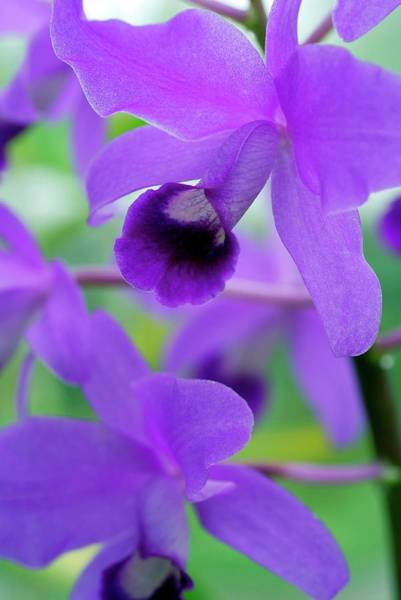 Wall Art - Photograph - Cattleya Bowringiana by Anthony Cooper/science Photo Library
