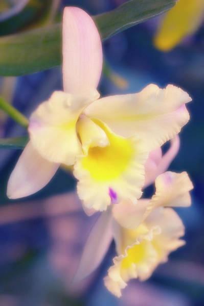 Hybrid Photograph - Cattleya Orchid (cattleya Hybrid) by Maria Mosolova/science Photo Library