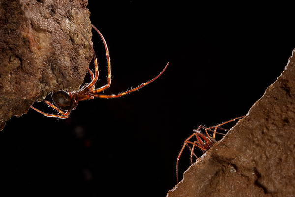 Photograph - Cave Spiders Of Different Species by Francesco Tomasinelli