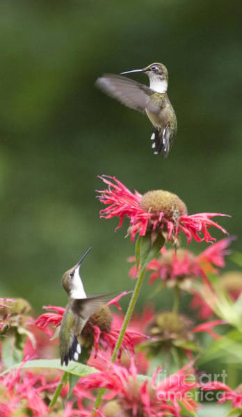 Photograph - Cecilia's Hummers. by Patricia A Griffin