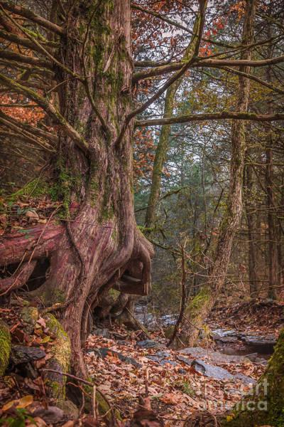 Photograph - Cedar Beauty by Larry McMahon