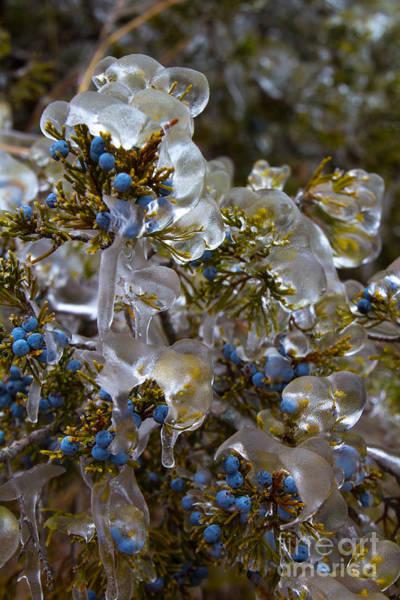 Photograph - Cedar Berries by Jim McCain