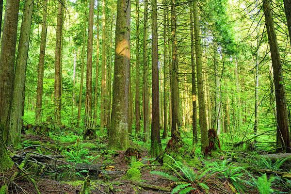 Coniferous Tree Photograph - Cedar Forest by Rontech2000