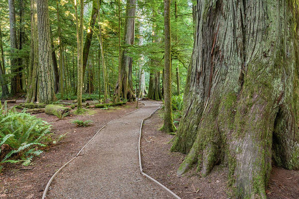 Cedar Tree Photograph - Cedar Trail, Macmillan Park, Vancouver by Witold Skrypczak