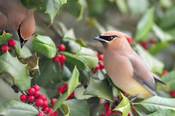 Photograph - Cedar Waxwing In Holly Tree by Terry DeLuco
