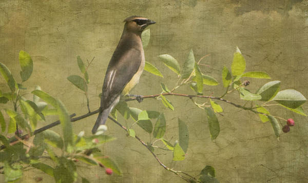 Photograph - Cedar Waxwing Berry Pickin  by Betty  Pauwels