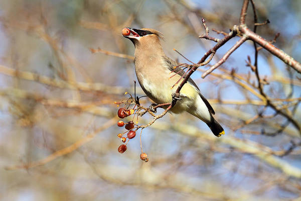 Photograph - Cedar Waxwing Eating A Cherry by Peggy Collins
