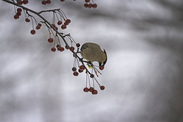 Wall Art - Photograph - Cedar Waxwing Eating Berries 1 by Thomas Young