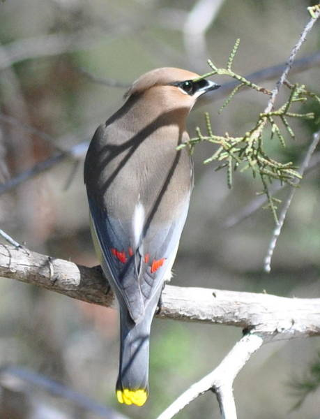 Photograph - Cedar Waxwing by Frank Madia