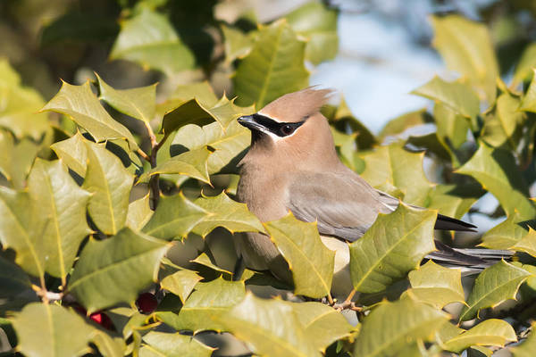 Photograph - Cedar Waxwing In Holly by Terry DeLuco