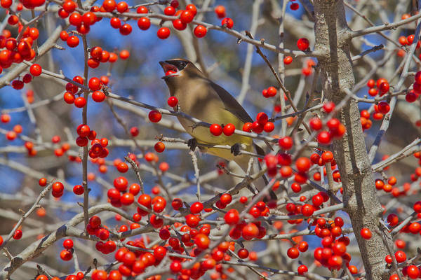 Photograph - Cedar Waxwing In The Act Of Swallowing A Possumhaw Fruit by Steven Schwartzman