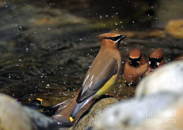 Photograph - 1030a Cedar Waxwings by NightVisions