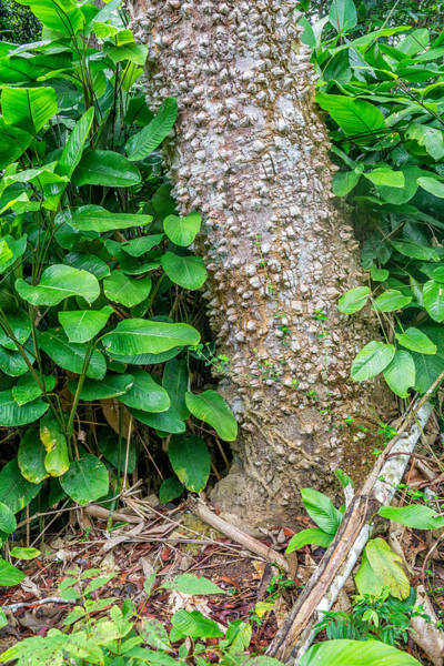 Wall Art - Photograph - Ceiba Tree Bark, Odzala, Congo by James Steinberg