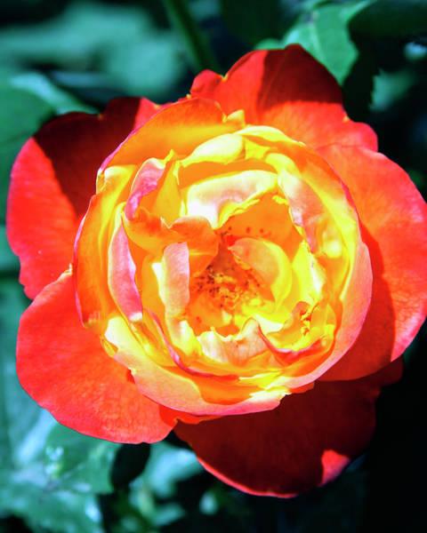 Desert Rose Photograph - Celebration Rose Palm Springs by William Dey