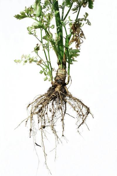 Biennial Photograph - Celery Plant And Roots by Wim Van Cappellen/reporters/science Photo Library