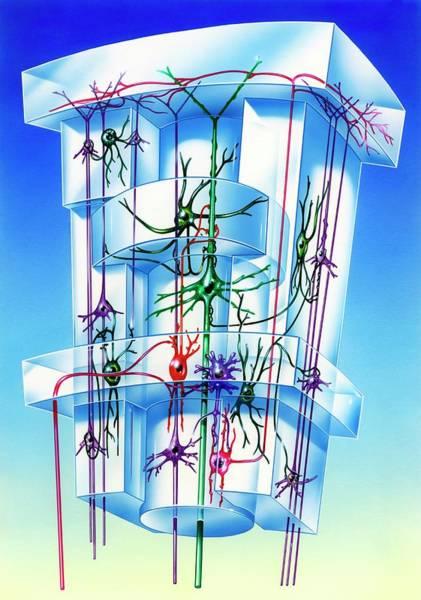 Brain Cell Wall Art - Photograph - Cell Types In Brain Cortex by John Bavosi