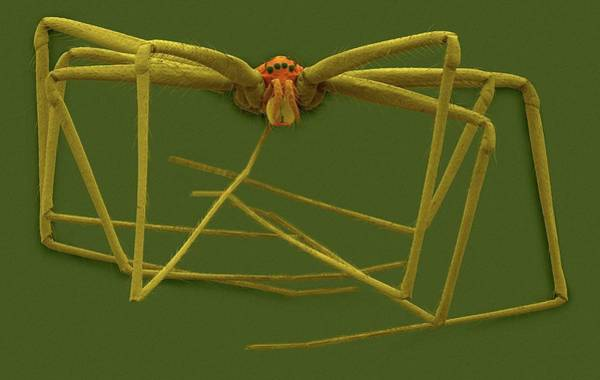 Daddy Long Legs Photograph - Cellar Spider (physocyclus Mexicanus) by Dennis Kunkel Microscopy/science Photo Library
