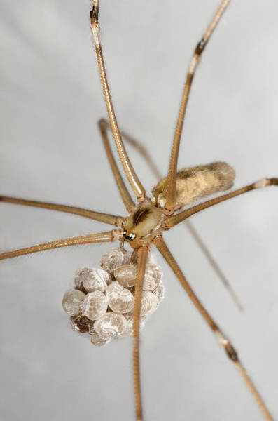 Arachnida Wall Art - Photograph - Cellar Spider With Eggs by Nigel Downer/science Photo Library