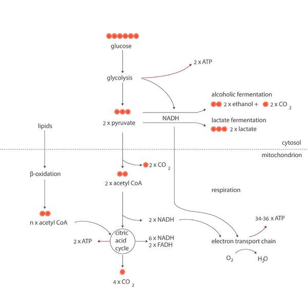 Oxidised Photograph - Cellular Respiration Metabolic Cycles by Science Photo Library
